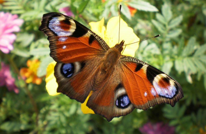 La farfalla pavone