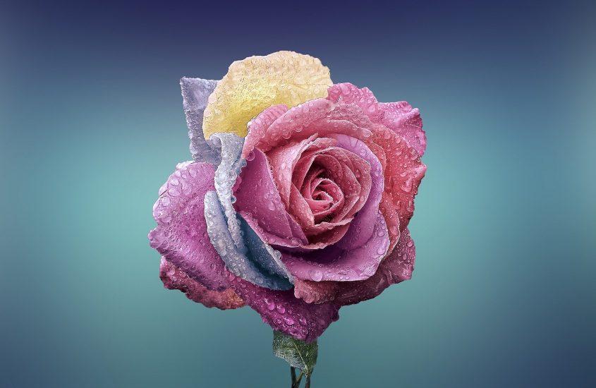 La duplicità delle rose
