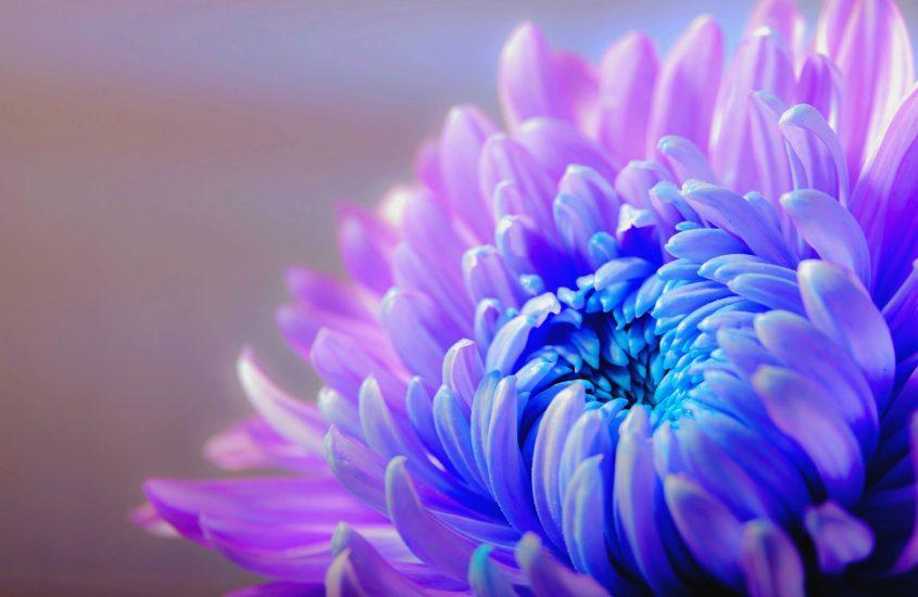 Crisantemi, controversia in fiore