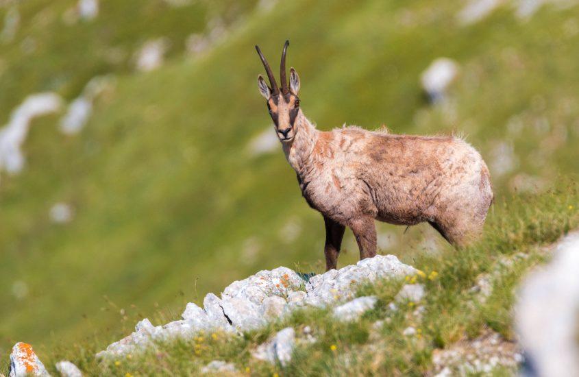 Buone notizie per il camoscio appenninico, animale unico al mondo