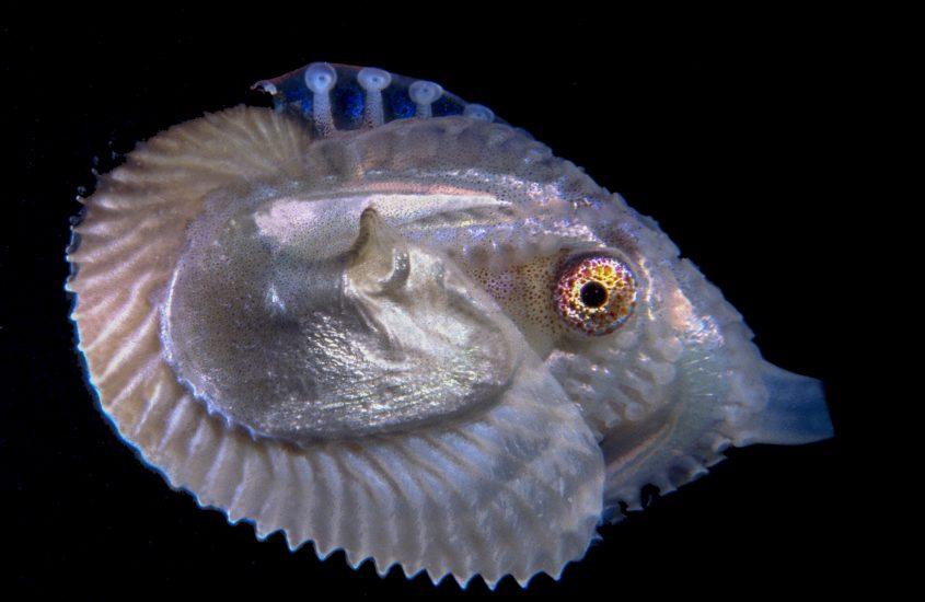 """Il polpo """"romantico"""" del Golfo di Napoli è il Mollusco mondiale dell'Anno"""