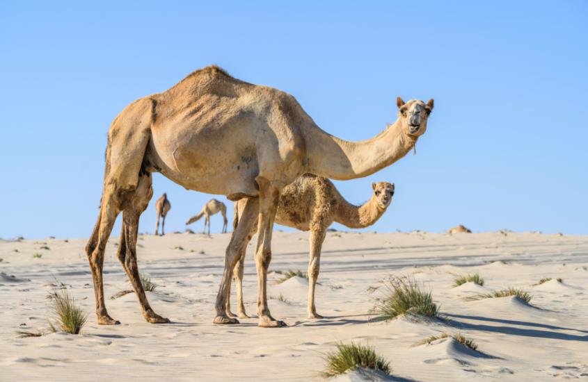 Qatar, l'arrivo dei cuccioli di cammello