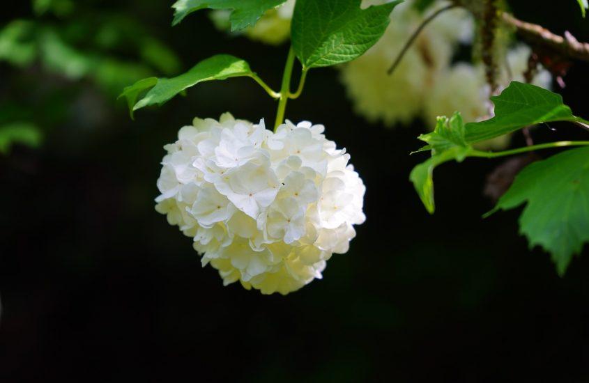 La leggenda della rosa di Gueldre
