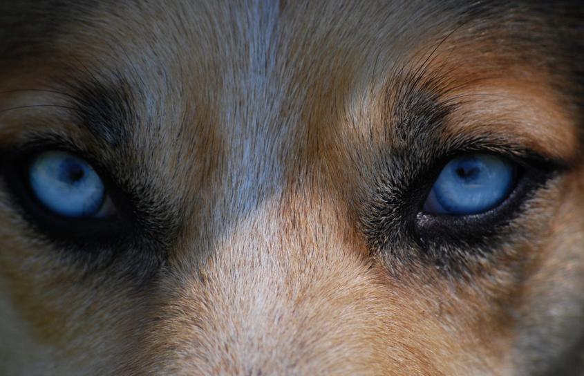 Il lupo dalla vista lunga