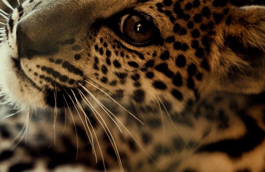Specie a rischio: ad AlUla nasce un raro cucciolo di leopardo arabo